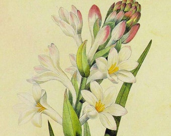 Hyacinth Tuberose Polianthes Tuberosa Wild Flower Lithograph By Redoute Vintage Illustration Botanical Print To Frame 12