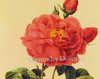 Fuschia Rose Dutchess d'Orleans Vintage Wild Flower Redoute Botanical Lithograph Poster Print To Frame 78
