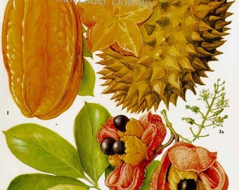 Star Fruit Carambola Durian Akee Tropical Fruit Flower Chart Food Botanical Lithograph Illustration For Your Vintage Kitchen 103