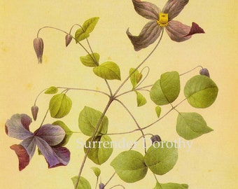 Purple Clematis Viticella Flowers Vintage Illustration Wildflower Lithograph Redoute Botanical Print To Frame 39