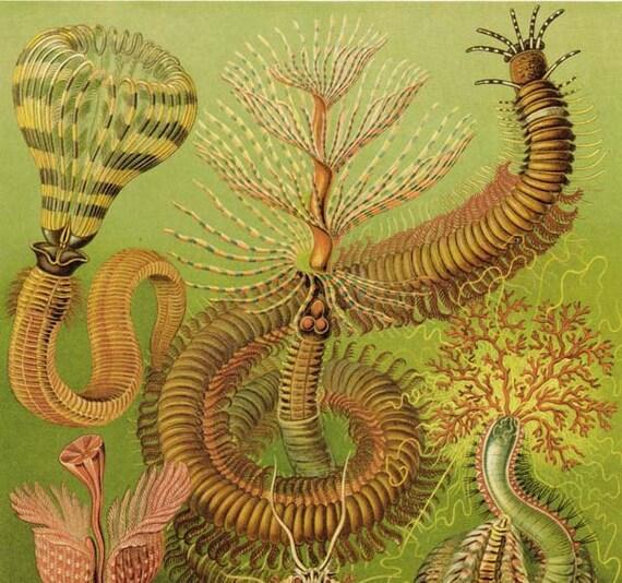 Art Forms in Nature Chaetopoda Ernst Haeckel Fine Art Print