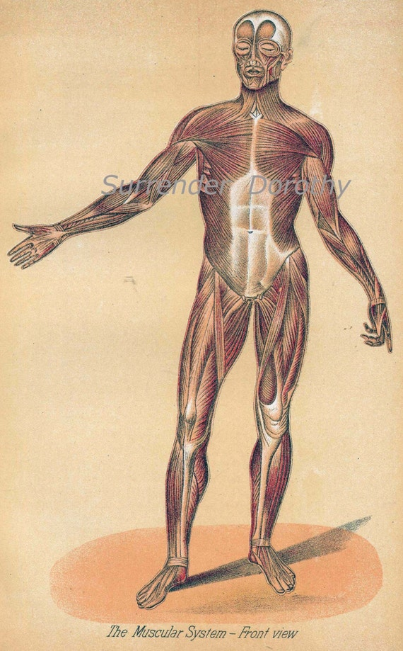 Human Anatomy Muscular System Vintage Medical Chart 1908 Etsy