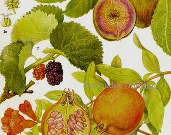 Fig Pomegranate Mulberry Tropical Fruit Chart Food Botanical Lithograph Illustration For Your Vintage Kitchen 95