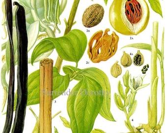 Spice Chart Vanilla Nutmeg Cinnamon Cardamom Food Vintage Botanical Lithograph Illustration For Your Vintage Kitchen 131