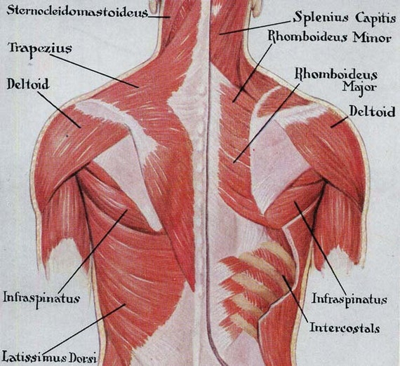 Muscles Back Posterior Human Anatomy Vintage Medical Chart Etsy