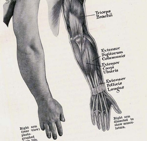 Arm Hand Muscles Posterior Muscular System Human Anatomy Etsy