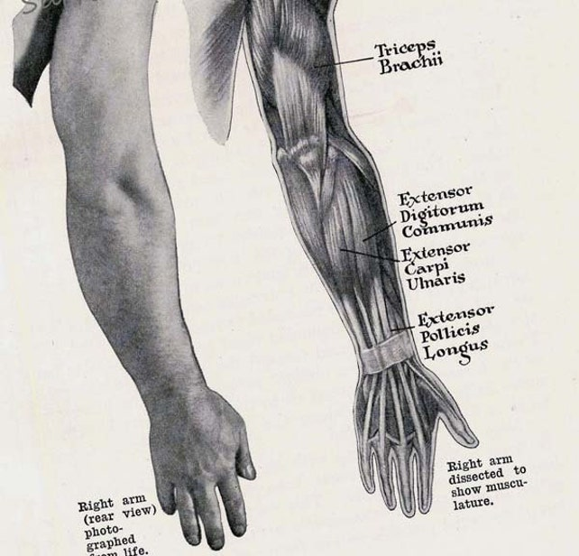 Arm Hand Muskeln hinteren Muskulatur menschliche Anatomie | Etsy