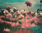Flower Prints, Flower Photography, Dahlias, Oregon, Fine Art Print, 8x10 print, home decor