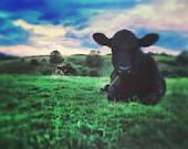 Cow Photograph, Country, Nature, Blue Ridge Parkway, Nature Photography, Explore, Travel, Wanderlust, 8x10 Print, 11x14 Print