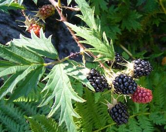 "Rubus fruticosus Thornless Evergreen-Thornless Blackberry Plant in 3.5/"" pot"