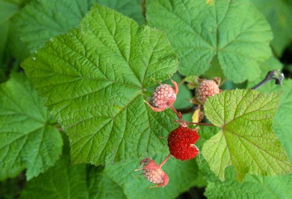 Rubus spectabilis 1 Bare Root Plant Salmonberries by Yumheart Gardens Salmonberry Bush
