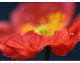 Nature Photograph - Floral Art - Flower Photograph - Pink - Fiery #7 - Fine Art Photograph - Alicia Bock - Botanical - Poppy - Oversized