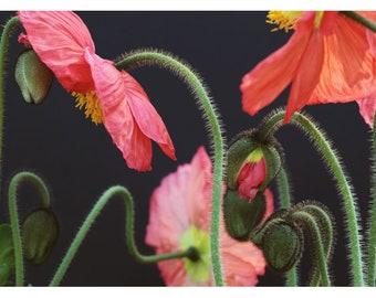 Poppy Photograph - Floral Art - Flower Photograph - Pink Art - Awakening #1 - Fine Art Photograph - Alicia Bock - Botanical - Oversized Art