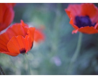 Flower Photograph - Nature Photography - Floral Photograph - Oriental Poppies - Poppy - Poppies I - Fine Art Photograph