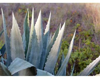 Nature Photograph - Succulent Photograph - Flower Photograph - Agave Morning - Fine Art Photograph - Alicia Bock - Green - Floral Art