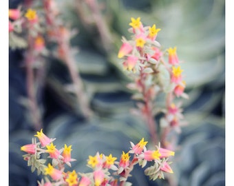 Nature Photograph - Succulent Photograph - Flower Photograph - Spring - Peach - Echeveria 2 - Fine Art Photograph - Alicia Bock - Floral Art
