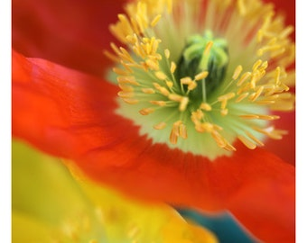 Nature Photograph - Floral Art - Flower Photograph - Spring Forward - Fine Art Photograph - Alicia Bock - Botanical - Poppy - Oversized