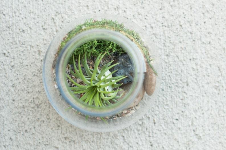DIY Air PlantTillandsia Terrarium