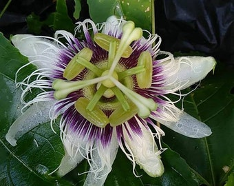 10 yellow passion fruit seeds from Barbados