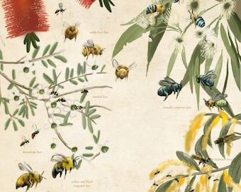 Bee Poster - Australian Native Bee illustration - educational science poster of Australian native bees (plain colour)