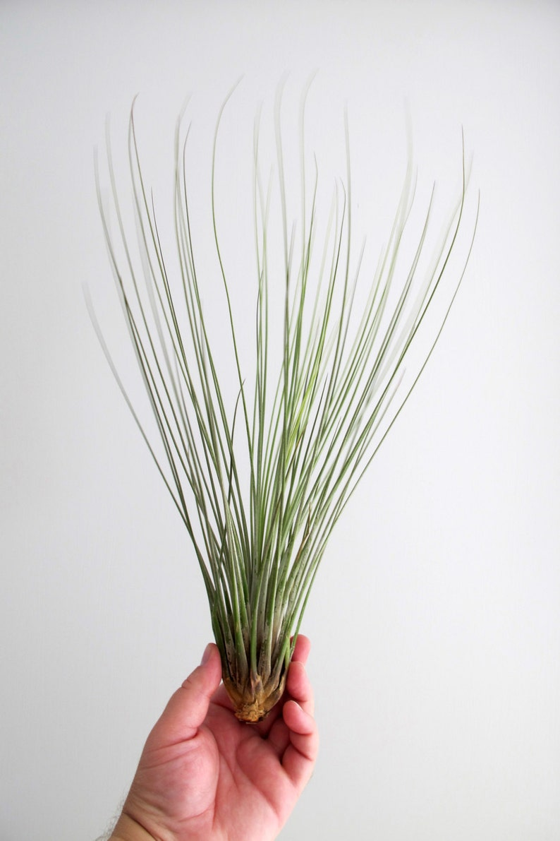 Tillandsia Air plant  Gorgeous Large Juncea image 0