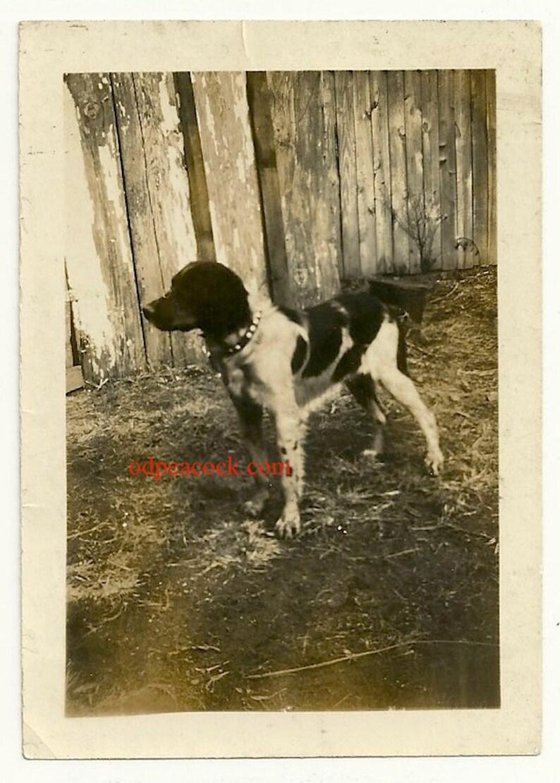 Vintage dog photo pointer spotted collar profile animal image 0