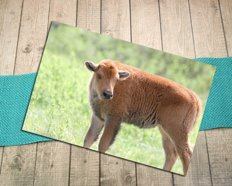 Wildlife Joy Postcrossing -5.75x4.125 Love Custer State Park New Life Spring Baby Shower Baby Bison Fine Art Photography Postcard