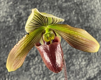 Paph Hawaiian Desire - paphiopedilum hybrid blooming size - easy windowsill orchid plant