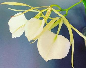 Brassavola nodosa 'Panama Soiree' - blooming size division - fragrant minicatt species - fast growing and easy windowsill plant