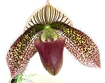 Paph Delightfully Contrasting - paphiopedilum hybrid blooming size - easy windowsill orchid plant