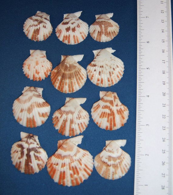 Craft Seashells Set Of 12 Very Colorful Pectin Shells 1 To Etsy