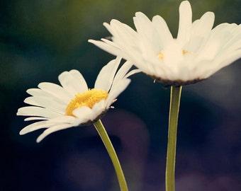 flower photography, white daisy photograph, nature photography, yellow decor, white decor, spring decor, Daisy Daisy