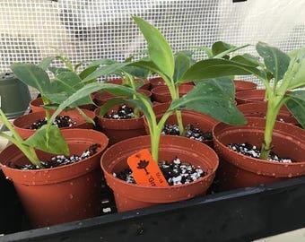 Grand Nain Chiquita Banana Tree - Great Dwarf Live Banana Plant