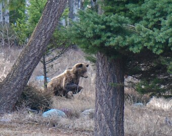 Grizzly Bear Hunting, Wildlife Photograph or Greeting card
