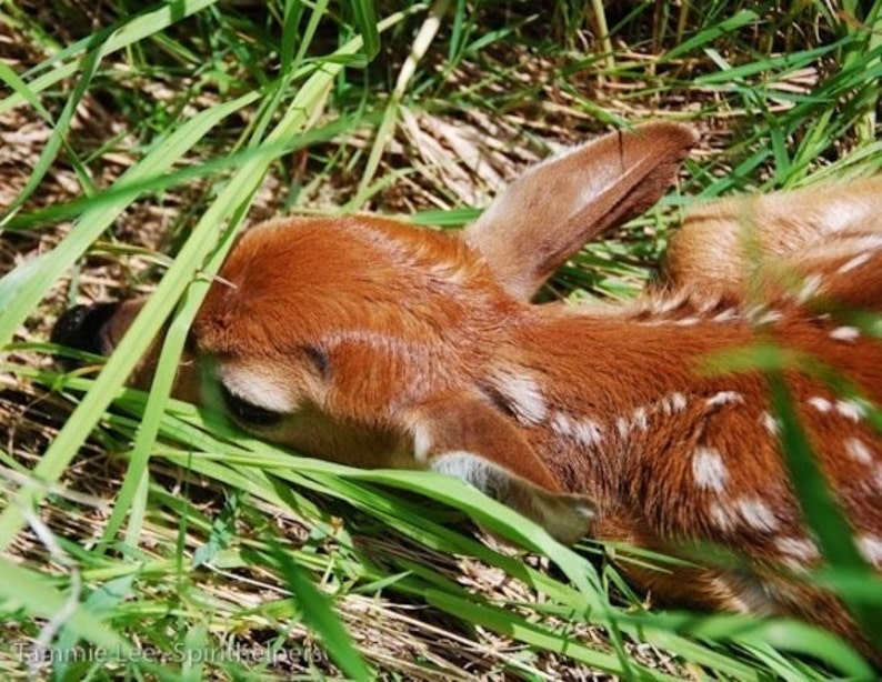 Young Fawn Baby Deer Forest Animal Tiny animal image 0