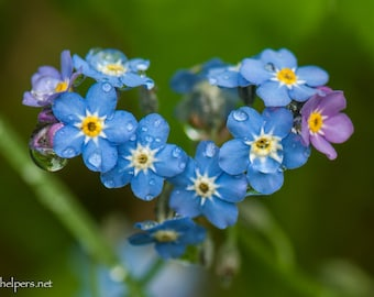 Forget Me Nots, Heart in Nature, Montana wildflowers, Sentimental Photography, Greeting card or Art Photograph