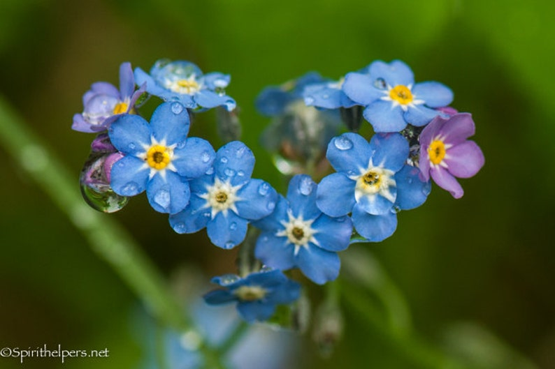 Forget Me Nots Heart in Nature Montana wildflowers image 0