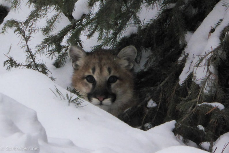 Young Mountain Lion Wildlife Cougar Greeting Card or image 0