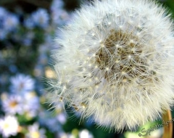 Make A Wish, The Perfect Birthday Photograph, Dandelion Seeds, Flowers and Macro Fine Art Photograph or Greeting card