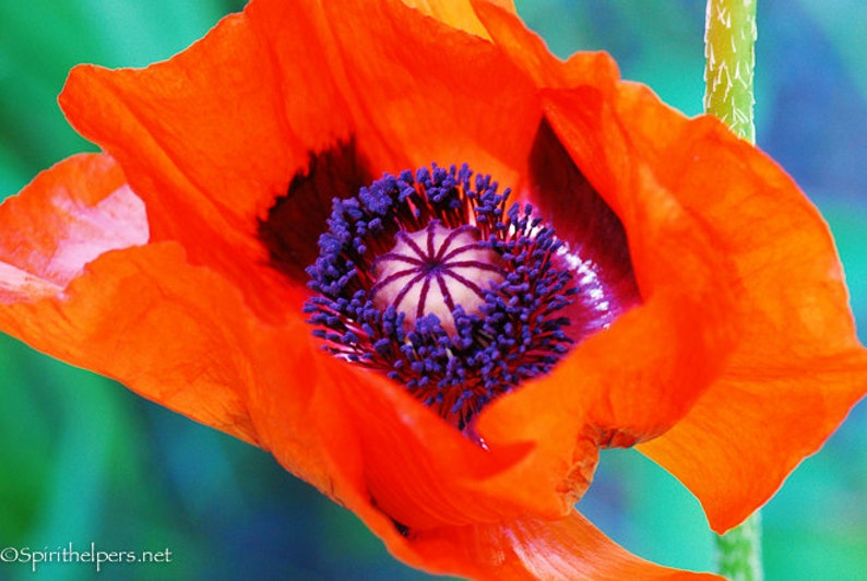Fresh Red Poppy Red Flower Intimate Macro Gorgeous flower image 0