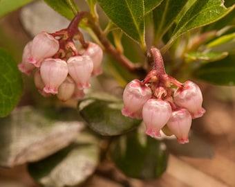 Kinnikinnick Flowers, Fairy Bells, Little Lanterns, Montana Flowers, Forest Flowers, Photograph or Greeting card