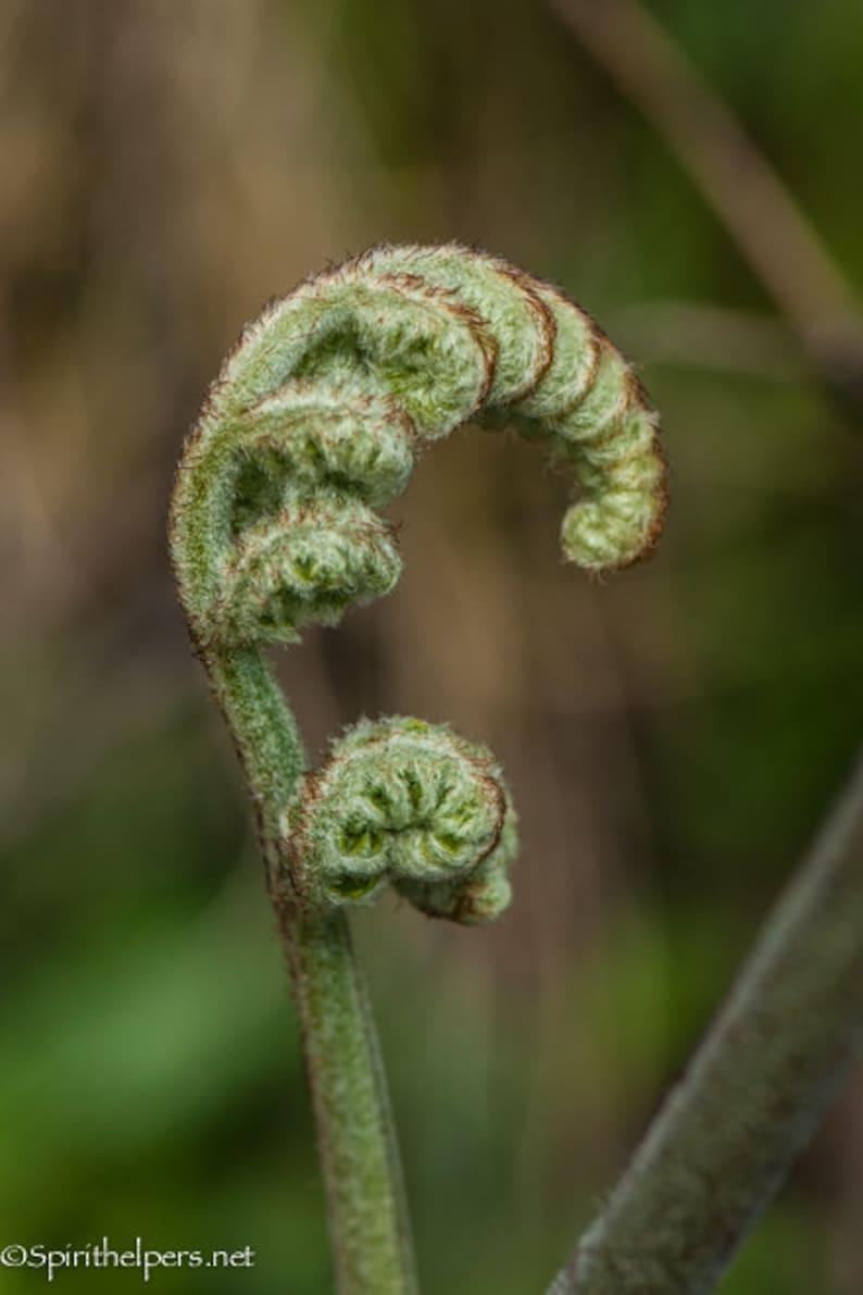 Fern unfurling Sacred Geometry Fibonacci spiral Greeting image 0