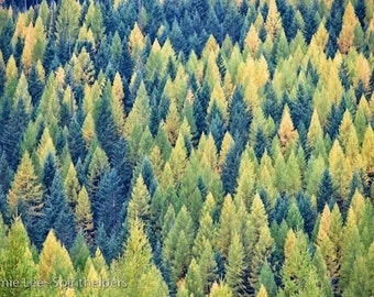 Autumn Tameracks, Western Larch in Fall Colors, Greeting Card or Art Photograph
