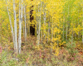 Autumn Forest, Aspen Trees, Woodland setting, Fall Colors, Greeting card or Photographic Print