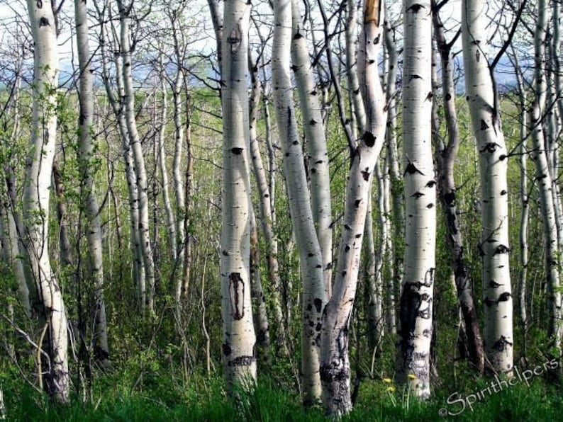 Lovely Aspens Tree photography Montana Forest Birch and image 0
