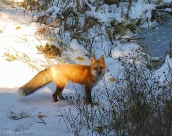 Autumn Fox, Red Fox, Greeting Card or Photographs