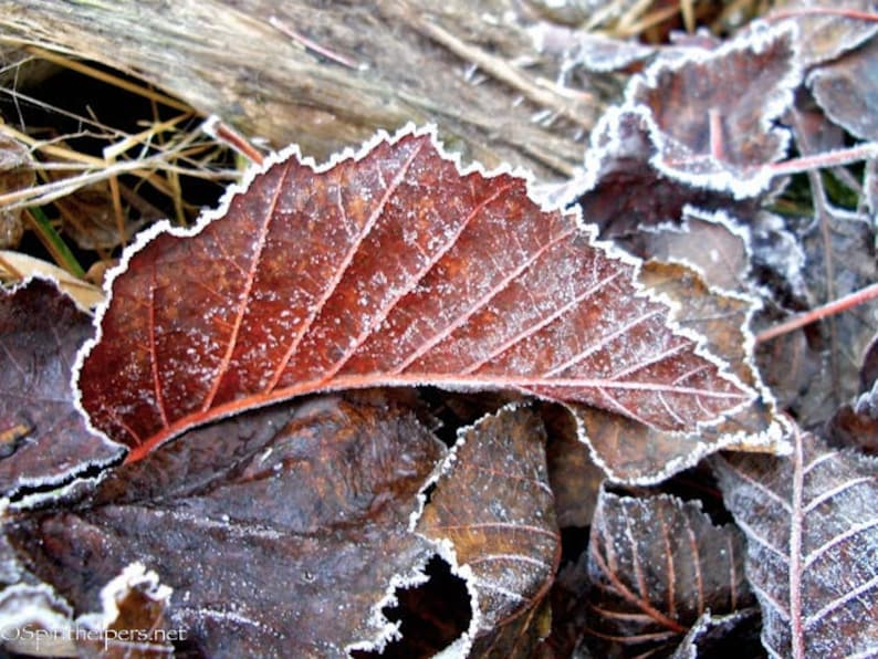 Autumn Leaves Frosty Leaves Burgandy and Brown Leaves image 0