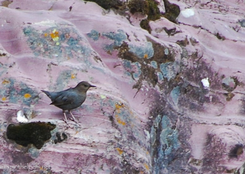 American Dipper Water Bird Nesting Season Water Ouzel on image 0