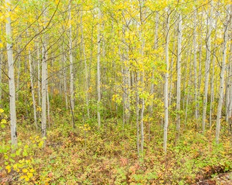 Montana Forest, Autumn Forest, Aspens in Fall, Greeting card or Photograph
