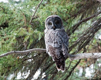 Great Grey Owl, Owl in the Forest, Perfect Halloween and Samhain Photograph or Greeting card